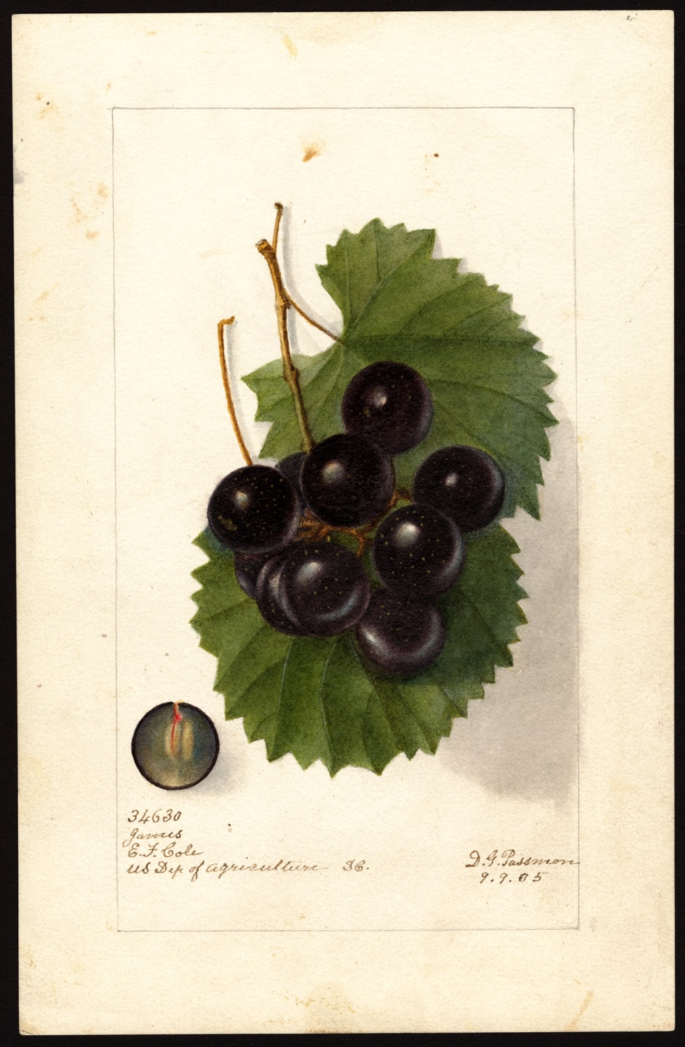 Deborah Griscom Passmore, uva, 1905, (fonte: U.S. Department of Agriculture Pomological Watercolor Collection. Rare and Special Collections, National Agricultural Library, Beltsville, MD 20705)