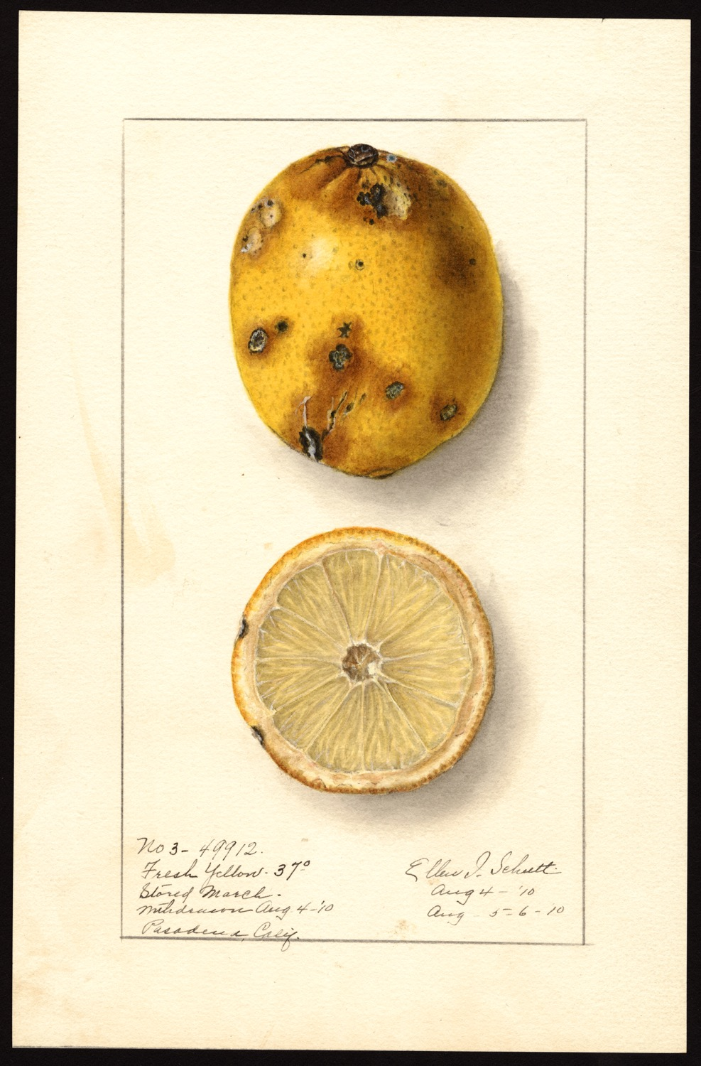 Ellen Isham Schutt, limone, 1910, (fonte: U.S. Department of Agriculture Pomological Watercolor Collection. Rare and Special Collections, National Agricultural Library, Beltsville, MD 20705)