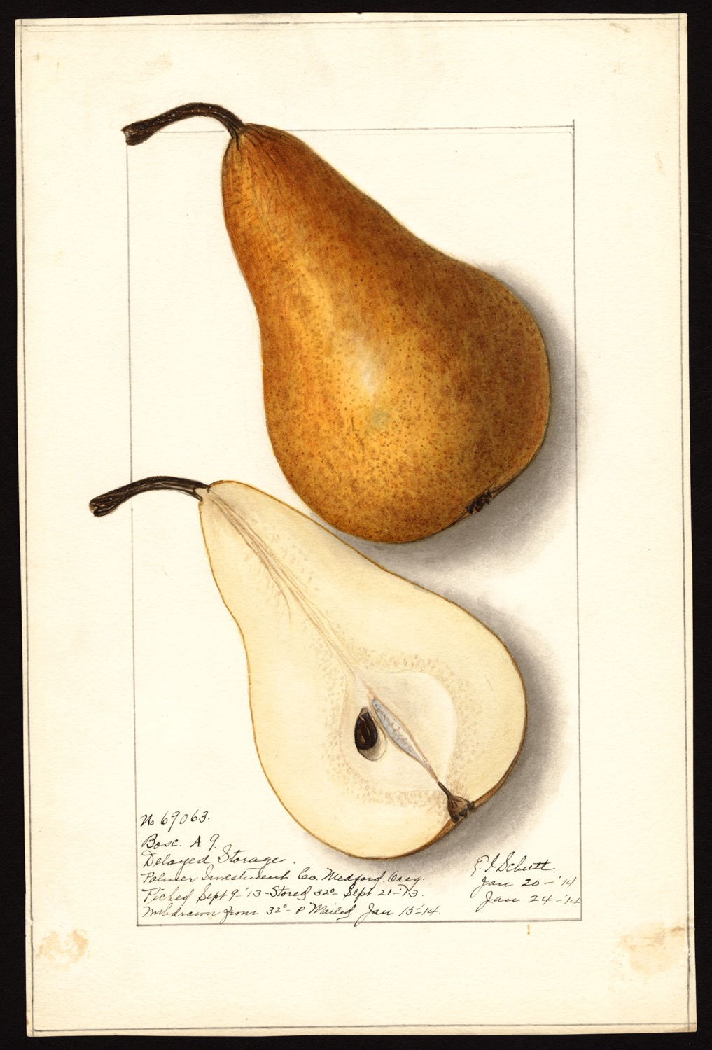Ellen Isham Schutt, pera, 1914, (fonte: U.S. Department of Agriculture Pomological Watercolor Collection. Rare and Special Collections, National Agricultural Library, Beltsville, MD 20705)