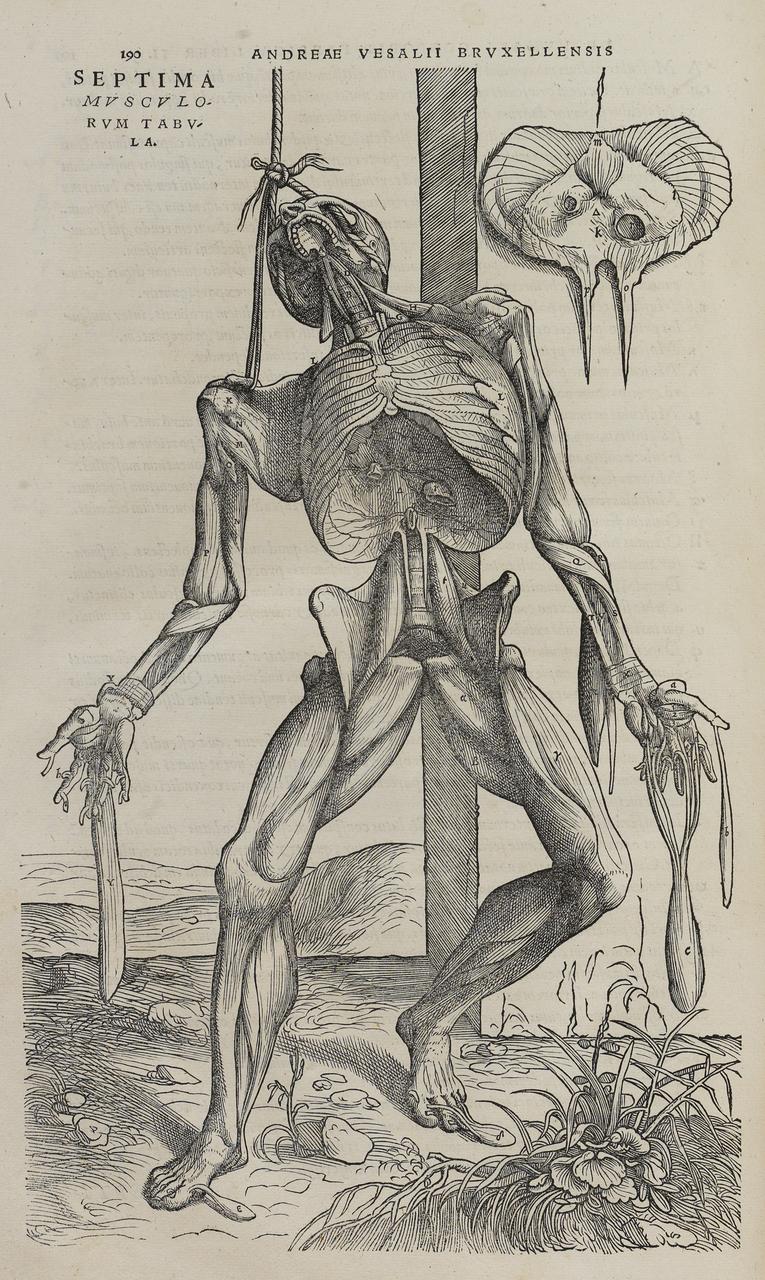 "Tavola tratta da ""De humani corporis fabrica libri septem"", di Andreas Vesalius (1514–1564)"