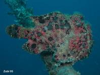 Ranisapo de Commerson (Antennarius commerson) - con apéndices de piel