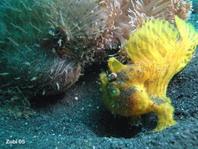 Pez rana rayado (Antennarius striatus) - el macho (amarillo) sigue a la hembra (mas grande)