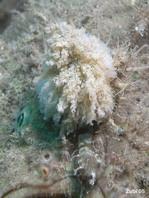 Pejesapo hispido (Antennarius hispidus) - el señuelo parece a un gusano plumoso