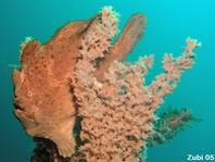 Ranisapo de Commerson (Antennarius commerson) - Pez rana marrón sobre una esponja marrón