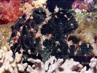 Ranisapo de Commerson (Antennarius commerson) - Pez rana negro