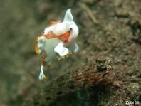 El pejesapo verrugoso juvenil (Antennarius maculatus) saltando sobre un gobio.