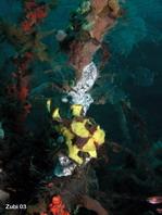 El pejesapo verrugoso (Antennarius maculatus) escondido en una esponja