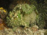 La hembra sujeta el racimo de huevos a la superficie de su cuerpo y los acarrea hasta su eclosión