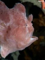Ranisapo de Commerson (Antennarius commerson) abre la boca