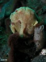 Pejesapo pintado (Antennarius pictus) - rodeado de peces pequeños
