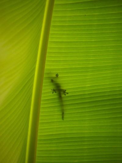 Gecko Shadow