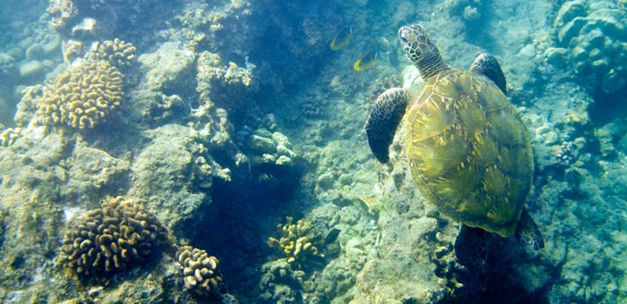 A turtle swims around the coral reef in search of food on the Kohala Coast of Hawaii