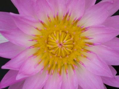 Pink Nymphaeaceae
