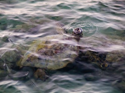 Up For Air Honu