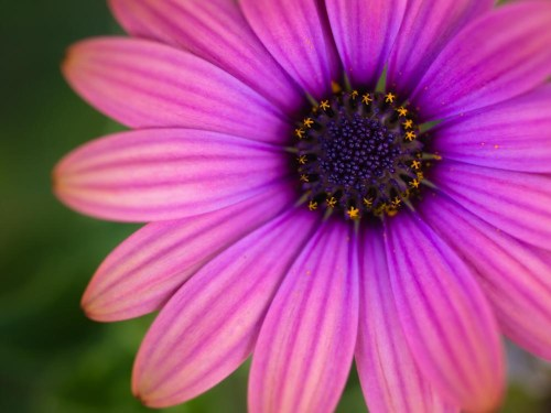 Macro view of a pink garden flower.