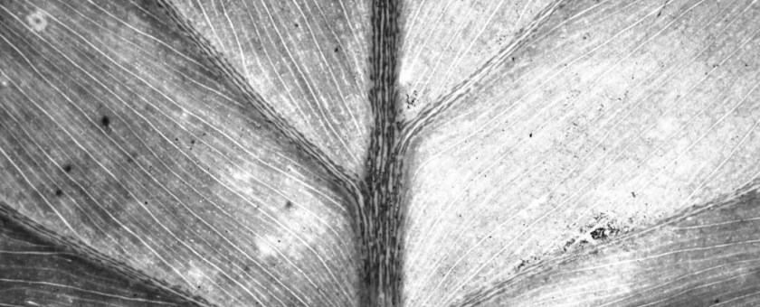 Black and white macro of the veins of a leaf. Unknown species