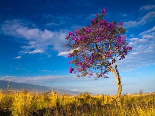 Jacaranda tree in a field with purple flowers in full bloom