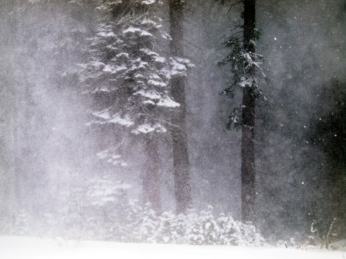 Dark trees amongst the snow falling in Lake Tahoe