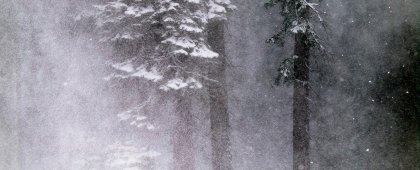 Dark trees amongst the snow falling in Lake Tahoe