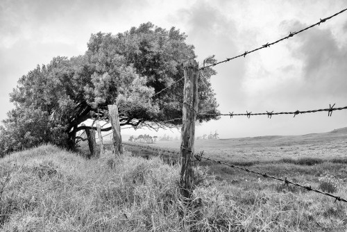 Image of a large tree leaning over a barbed wire fence off of Mana Road in Waimea, Hawaii.