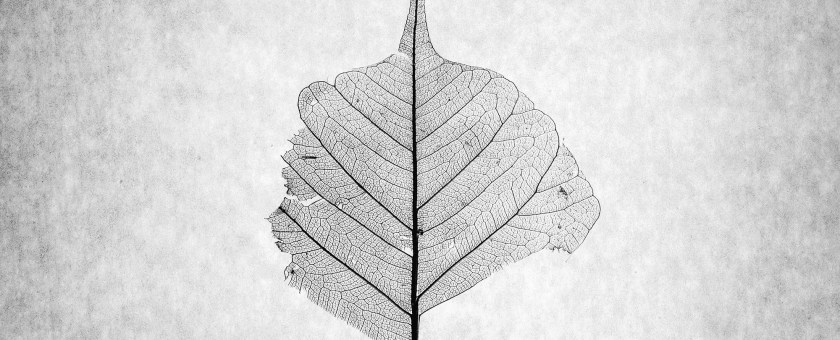 photograph of the skeleton of a dead leaf in black and white