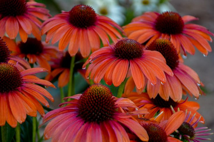 2020 new perennnials - Echinacea Color Coded 'Orange You Awesome' (Coneflower)