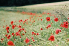 1706_3_24_Grafrath_Mohn