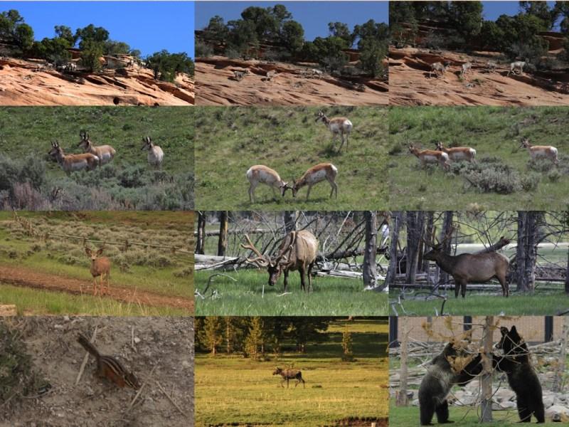 faune du Yellowstone