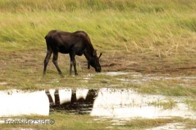 moose mâle