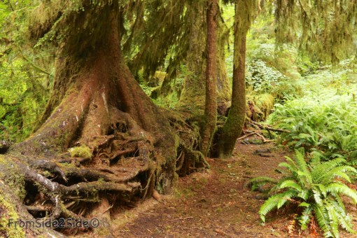 olympic-rainforest-19