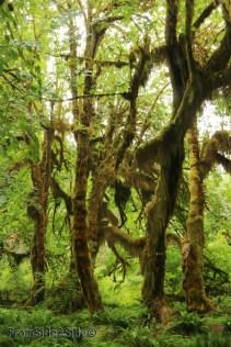 olympic-rainforest-25