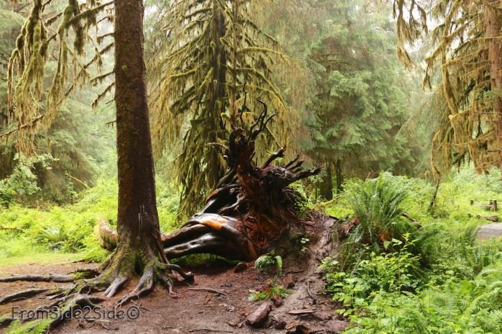 olympic-rainforest-26