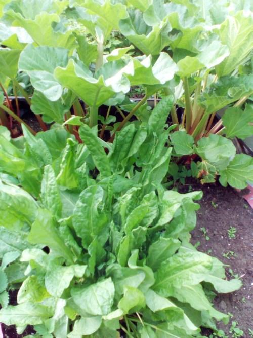tangy spring salad rhubarb and sorrel