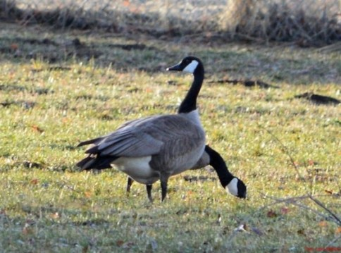 Two-Headed-Three-Legged-Goose