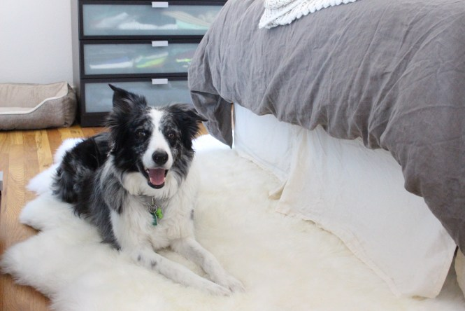 Smiling blue merle border collie, Reagan on her cozy sheepskin rug