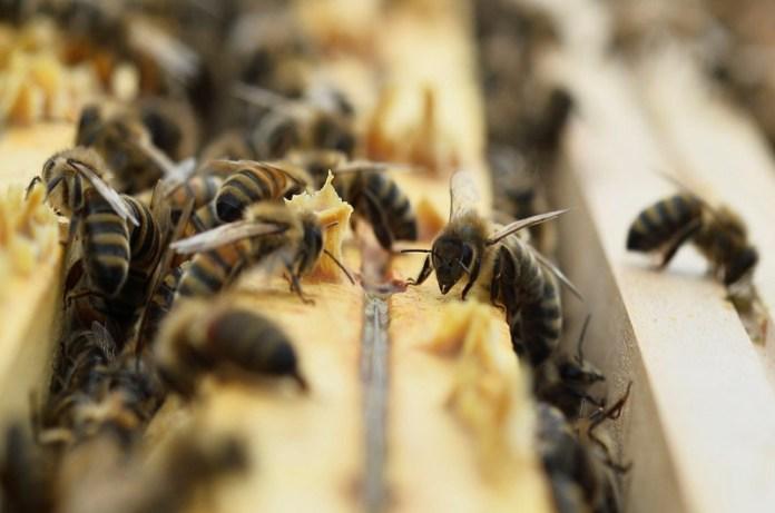 células veneno abejas
