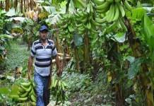 productores plátano