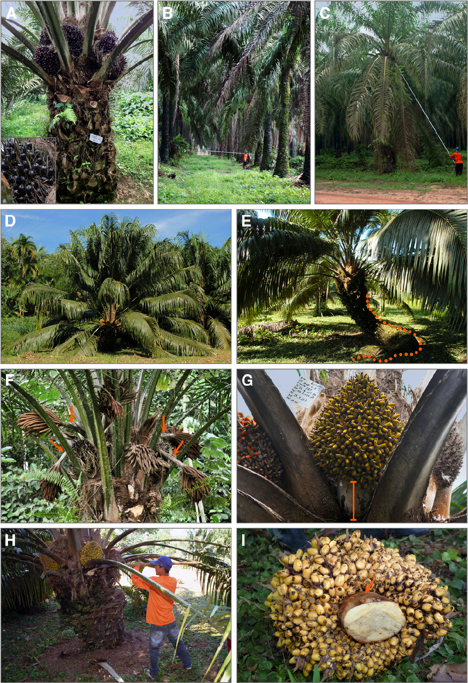 Frontiers Oil Palm Natural Diversity And The Potential
