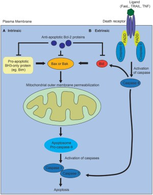 Frontiers | The Regulation of Apoptosis in Kidney