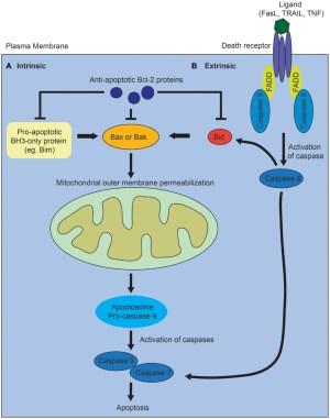 Frontiers | The Regulation of Apoptosis in Kidney