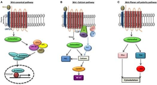 stem cell for heart disease