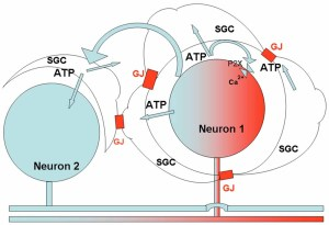 Frontiers   Role of satellite glial cells in