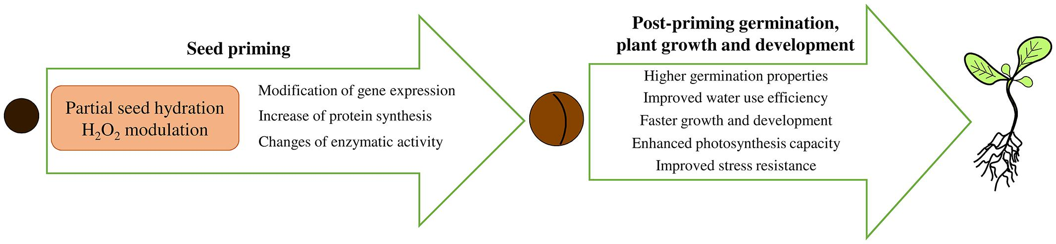 Plant Growth Germination Seed Diagram