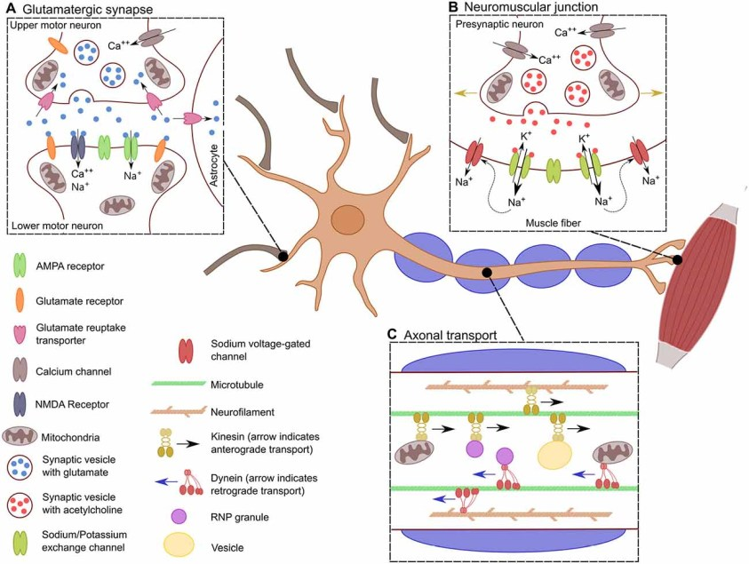 Frontiers   MotomiRs: miRNAs in Motor Neuron Function and ...