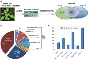 Frontiers | Nucleolar Proteome Analysis and Proteasomal Activity Assays Reveal a Link between