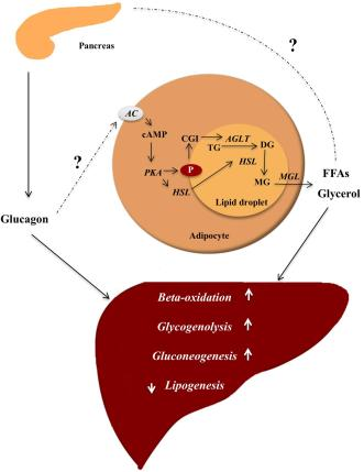 Frontiers | Glucagon Receptor Signaling and Lipid Metabolism | Physiology