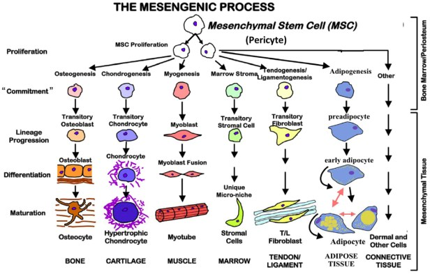 Image result for mesenchymal stem cells