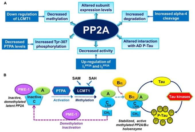 「pp2a」の画像検索結果