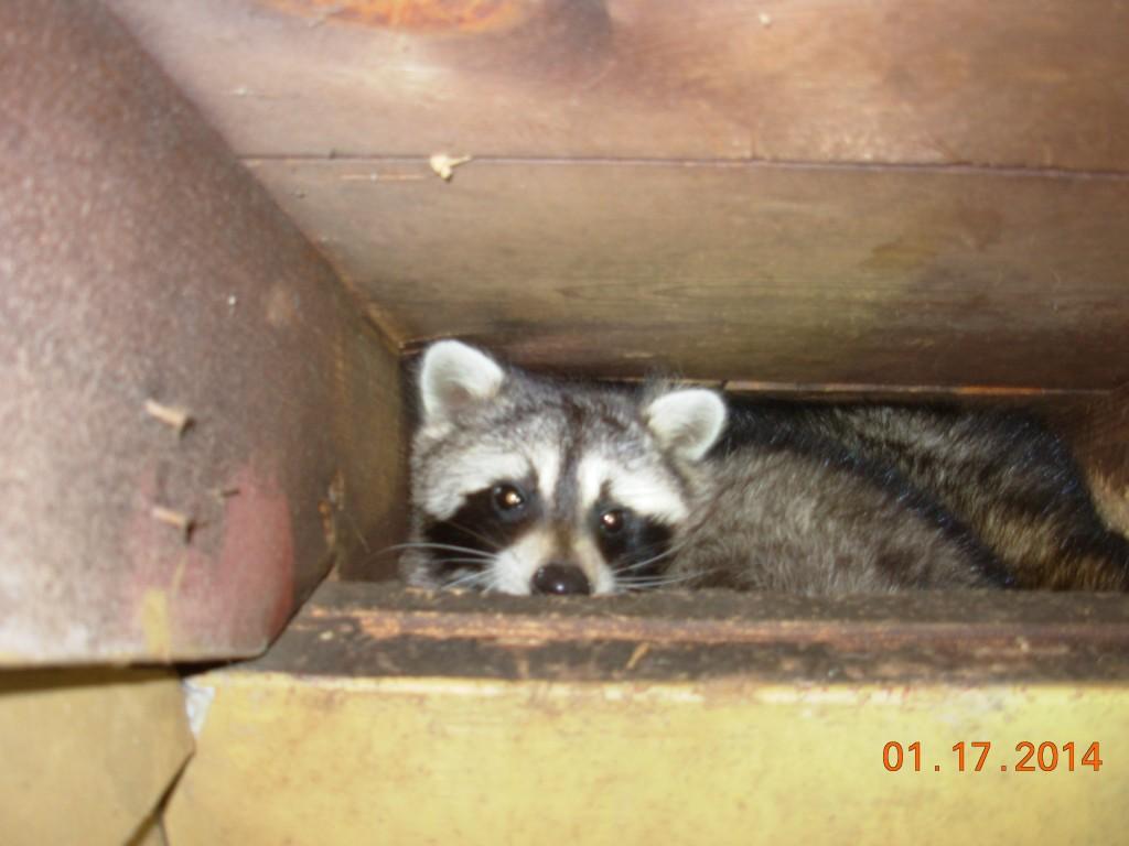 Do Raccoons Hibernate