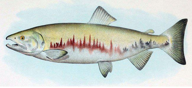 salmone-selvaggio-keta